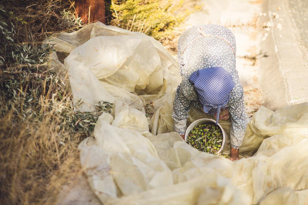 olive picker